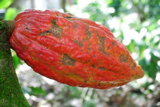 A cocoa pod growing on a Cluizel plantation